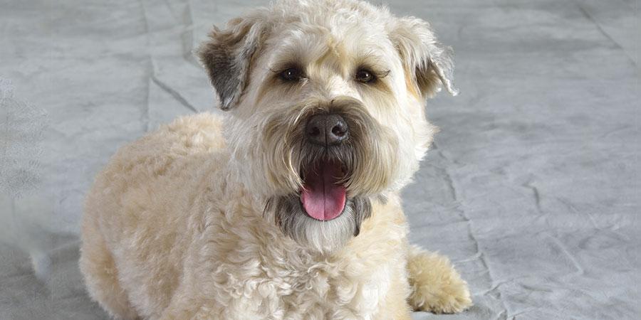 Soft Coated Wheaten Terrier My Pet World
