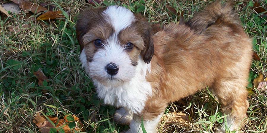 Tibetan Terrier My Pet World